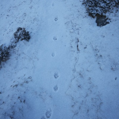Snow Leopard tracks ... maybe?